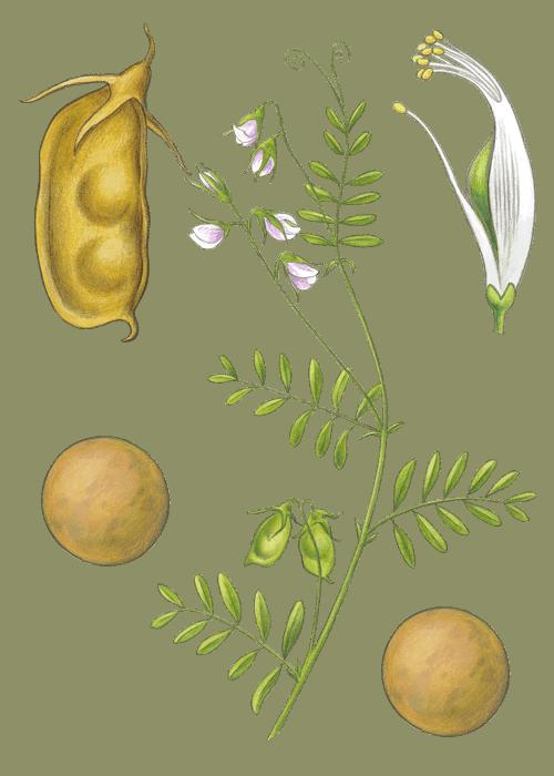 Botanical / Illustration von Tellerlinsen