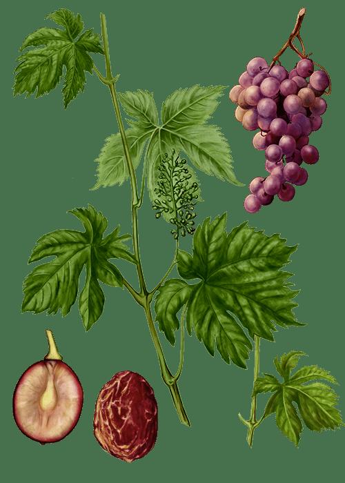 Botanical / Illustration von Weinbeeren
