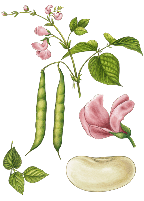 Botanical / Illustration von Bohnen