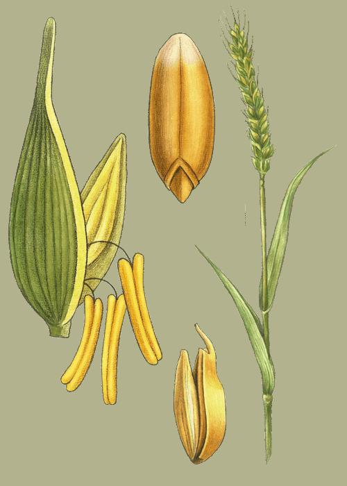 Botanical / Illustration von Weizen