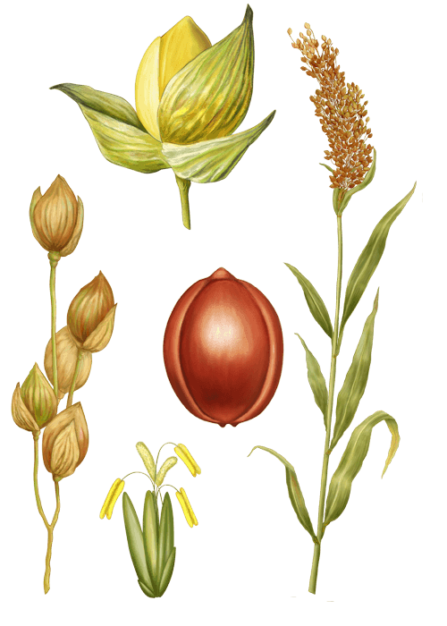 Botanical / Illustration von Wilde Braunhirse